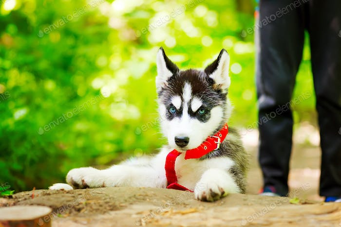Siberian little Husky breed dog walks through the woods with a boy