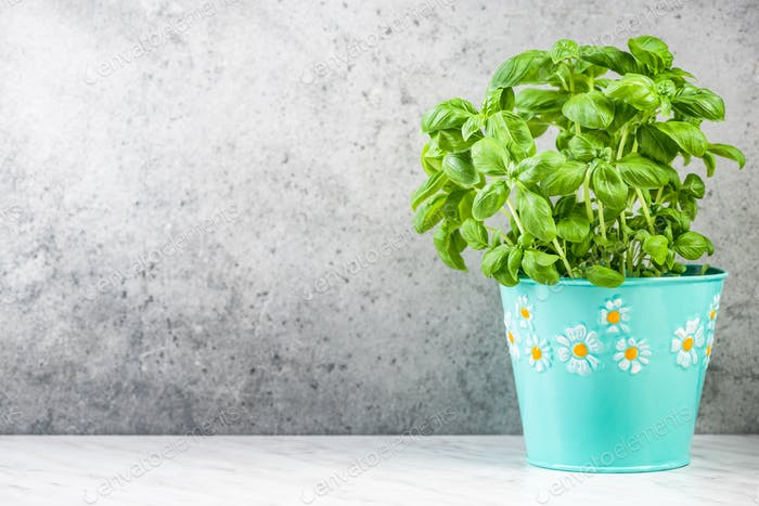 Growing fresh basil in pot on kitchen counter