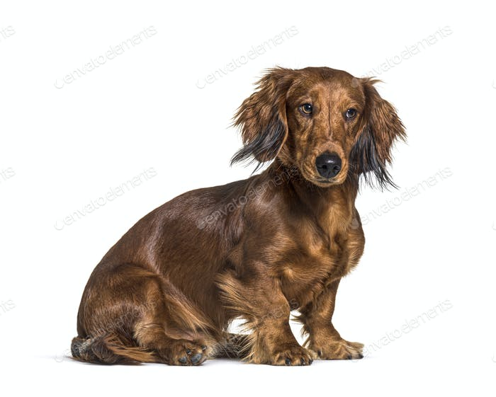 Sitting dachshund looking questioning isolated on white