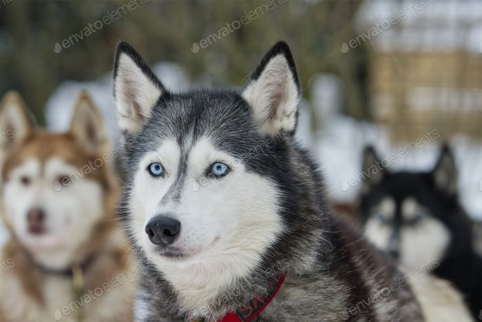 Portrait husky dog with blue eyes