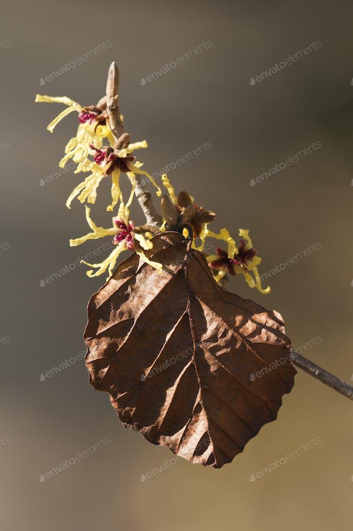 Witch-hazel Hamamelis Flowers
