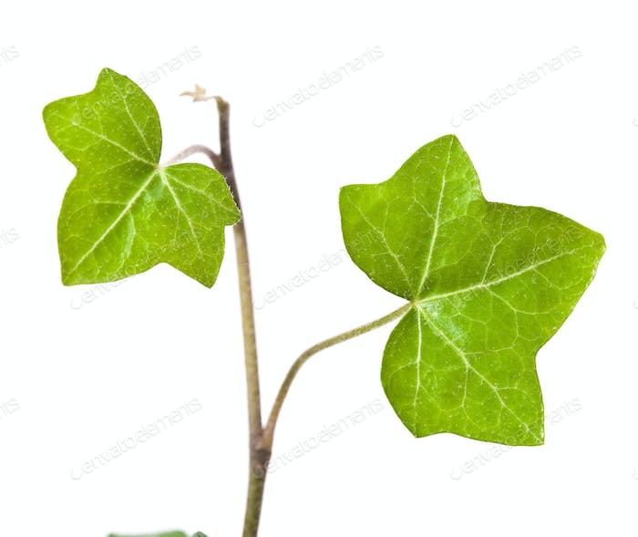 ivy isolated on white