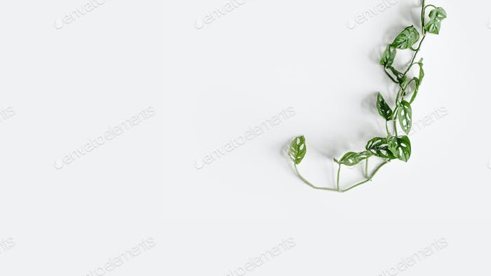 Monstera Monkey Mask in a white pot stands on a white pedestal on a white background