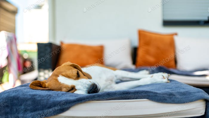 Beagle dog sleeping on a couch outdoors in shade