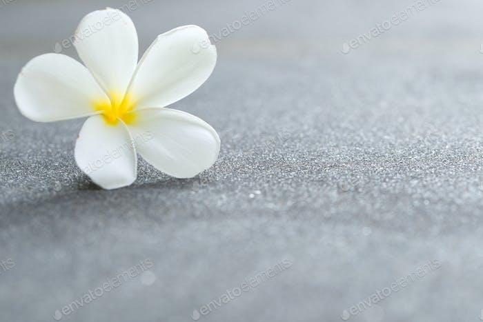 White plumeria or frangipani flower