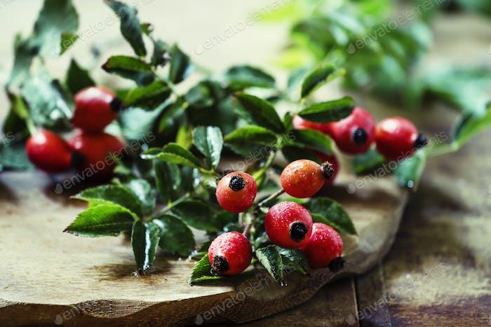 Fresh berries of wild rose