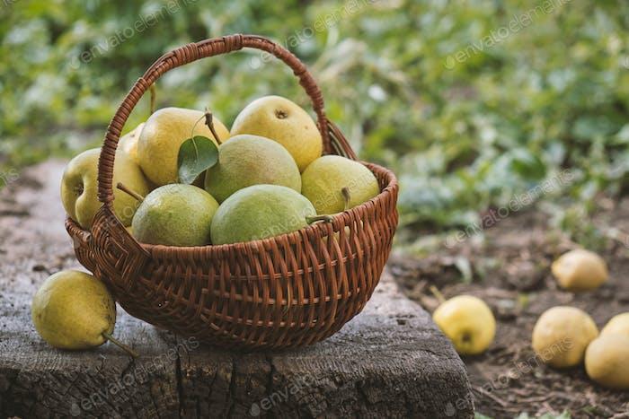 Köstliche hausgemachte frisch gepflückte Birnen
