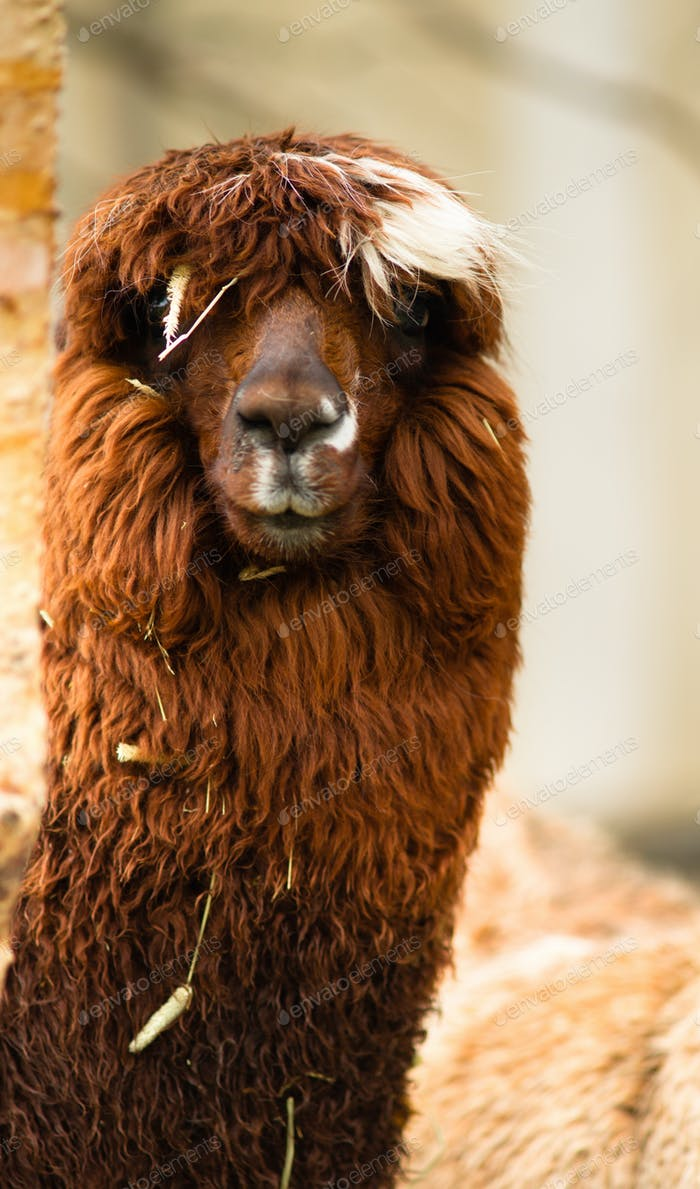 Solitary Llama Eyes Covered By Hair and Straw Rust Blonde