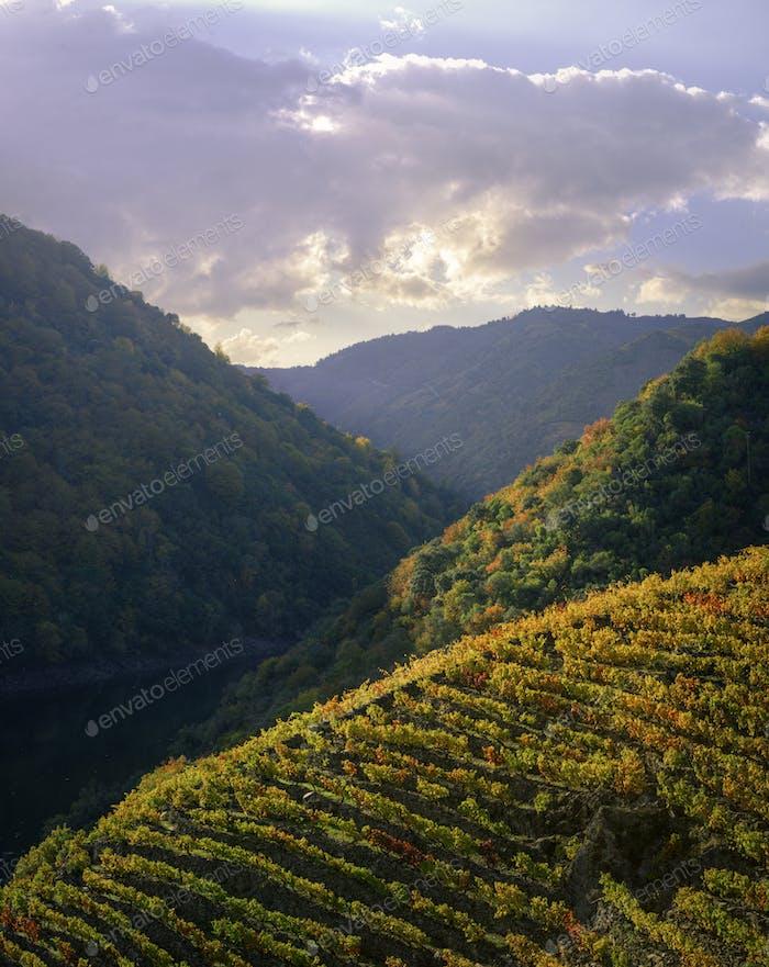 Autumnal evening landscape of vineyards and forests