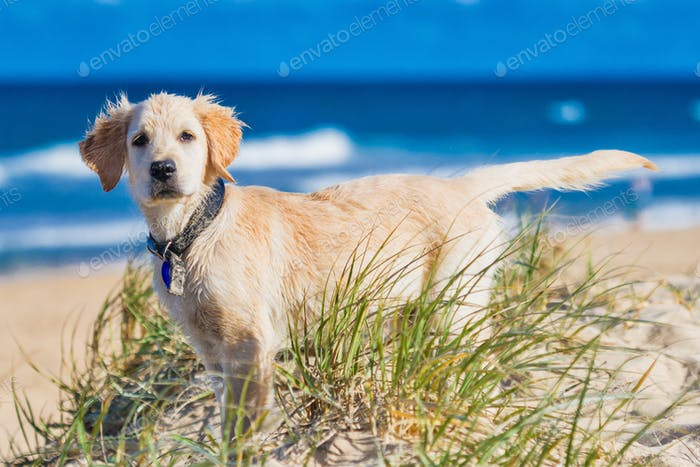Golden retriever puppy exploring the beach