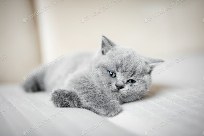 Furry grey kitty laying down lazily.