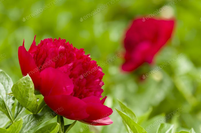 Red Paeon flowers