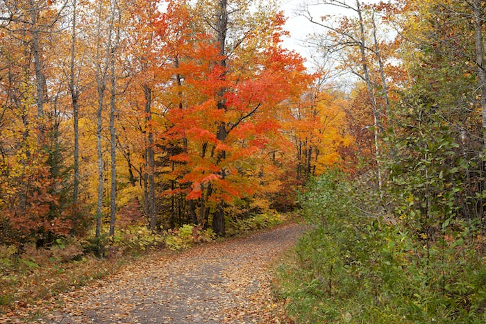 Maple tree in brilliant red foliage along a trail in northern Minnesota