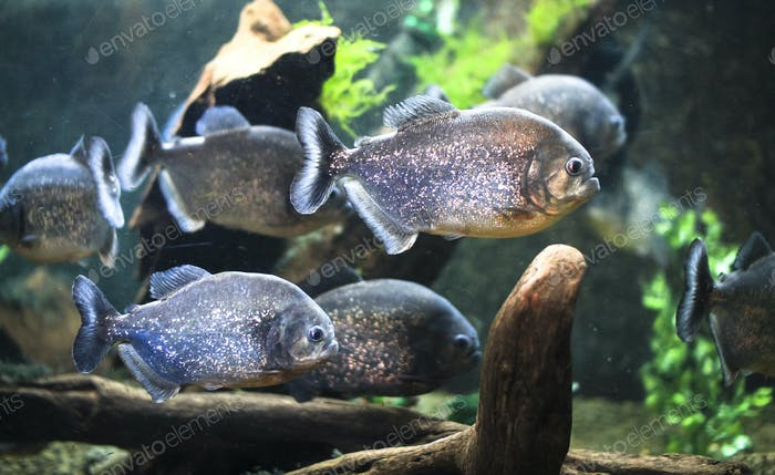 Piranhas Swimming Together