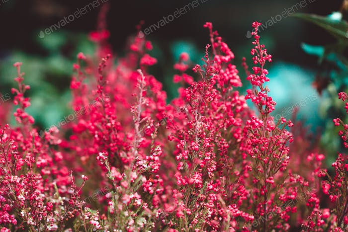 Macro photography of heather in a spring forest. Beautiful vibrant nature background.