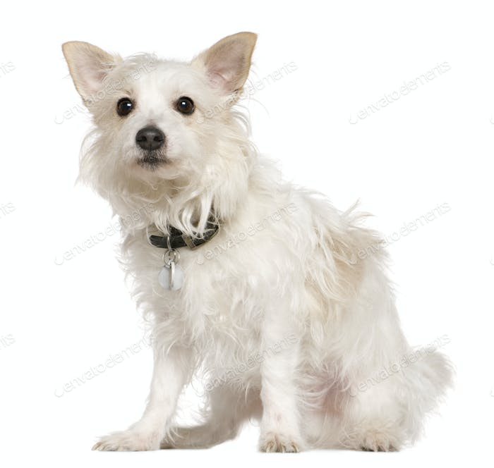 West Highland Terrier mixed with a Papillion dog, 5 years old, sitting in front of white background