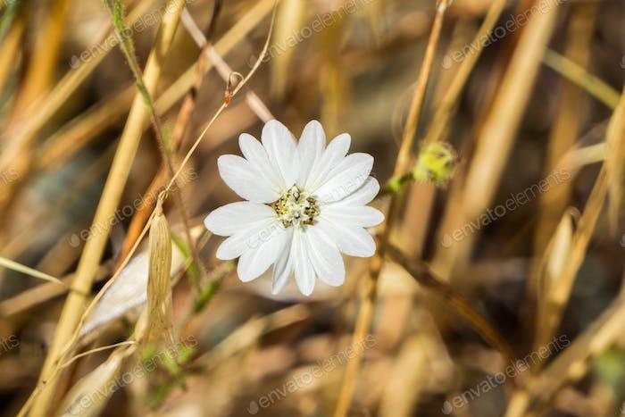 Hayfield Tarweed (Hemizonia congesta) wildflower, California