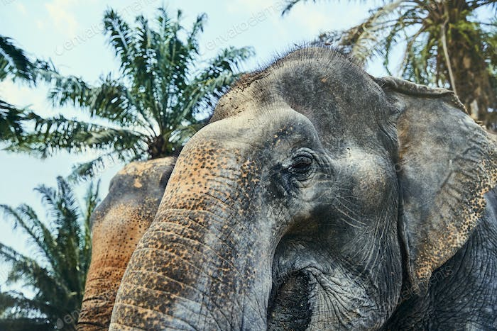 Two large Asian elephants standing in an animal reserve