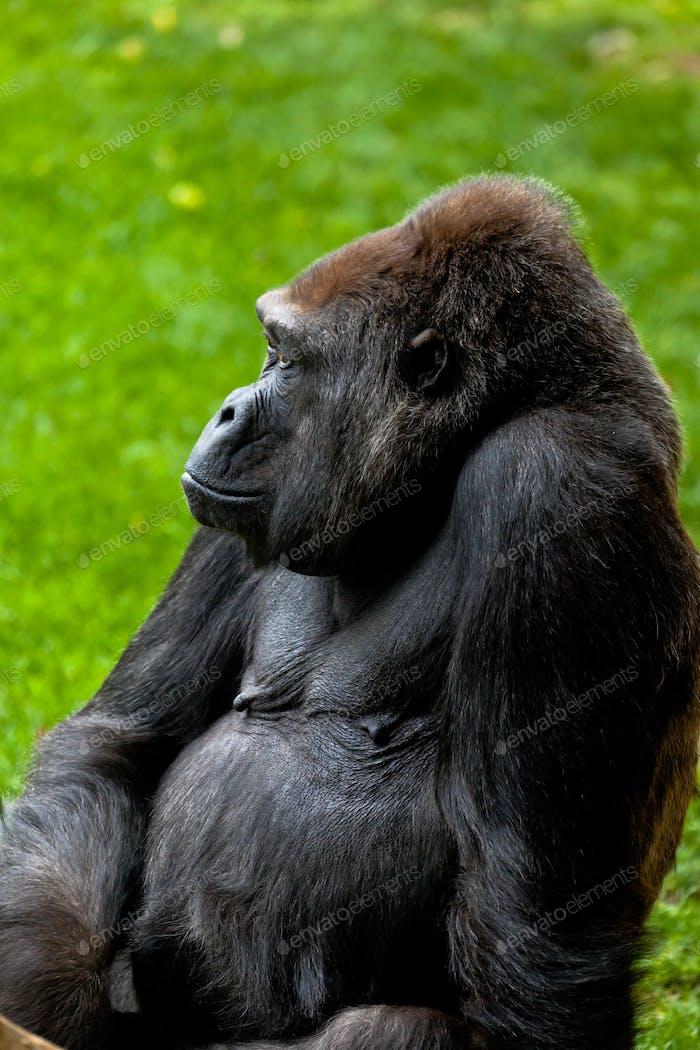 Gorilla of coast,  Gorilla gorilla