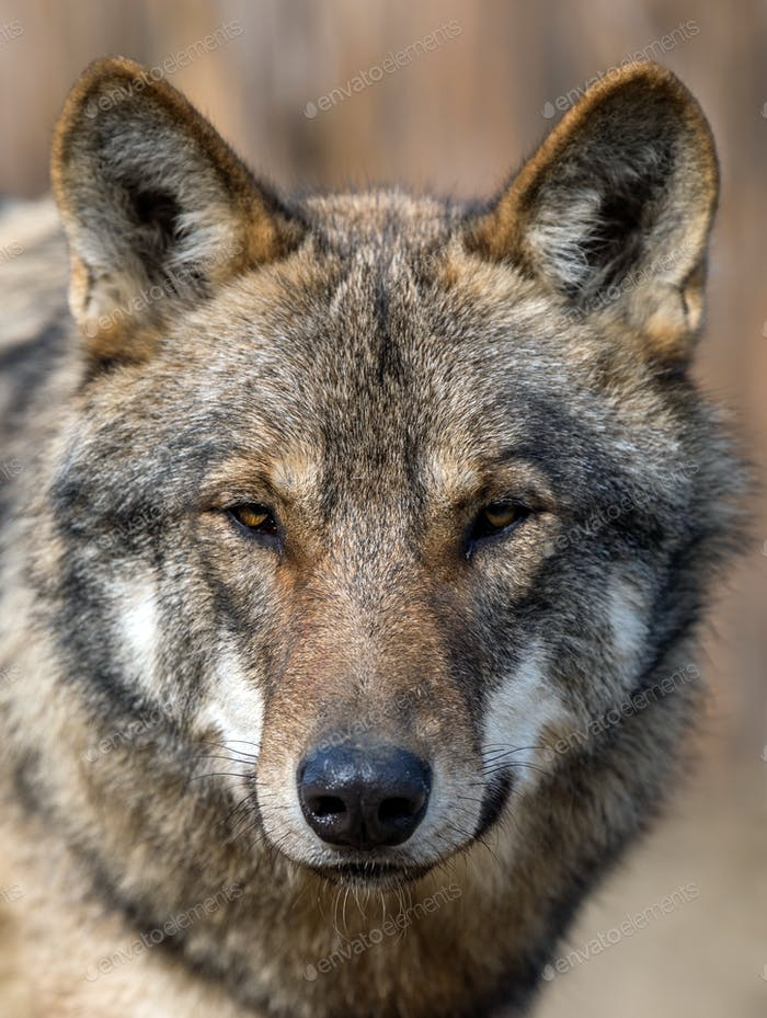 Close up portrait of a grey wolf (Canis Lupus)