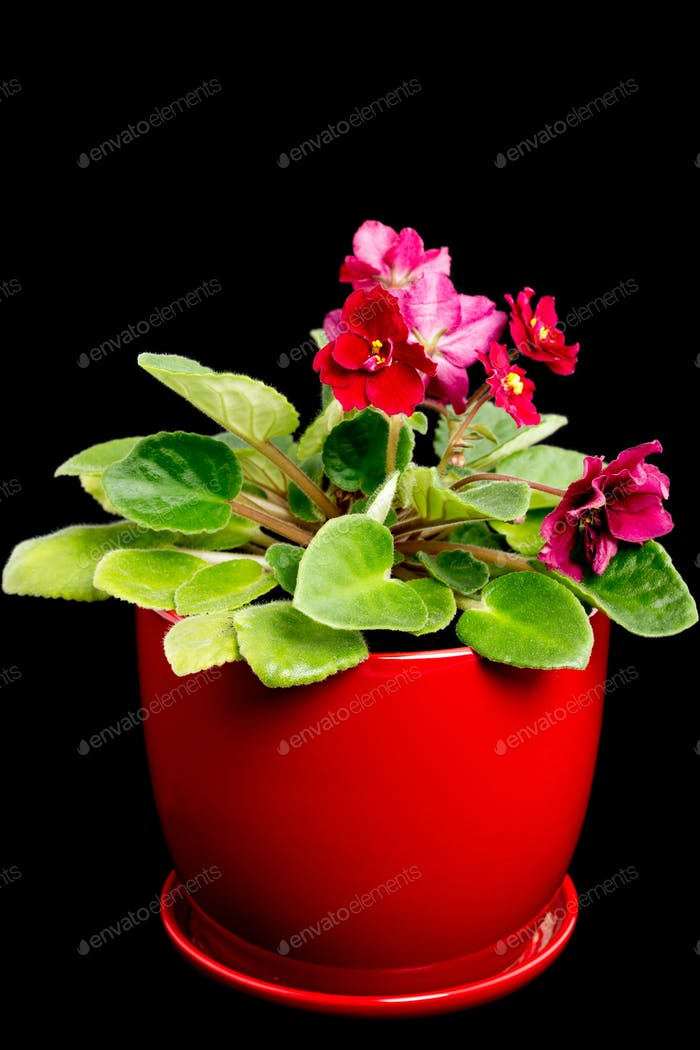 Beautiful violet flowers in ceramic pot.