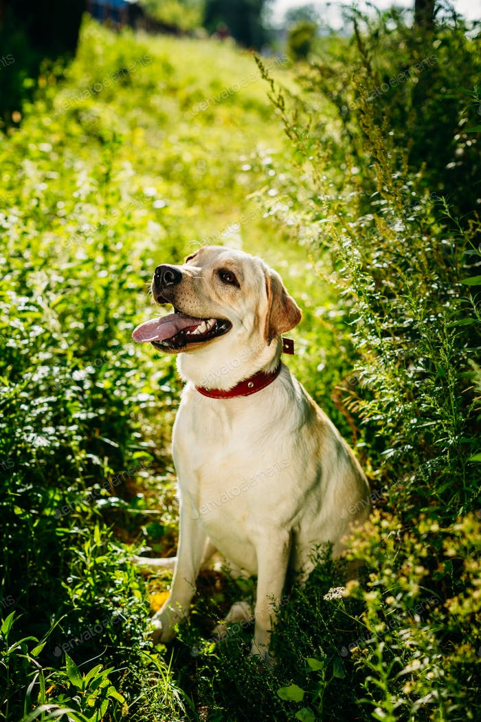Happy White Labrador Retriever Dog Sitting In Grass, Park Backgr