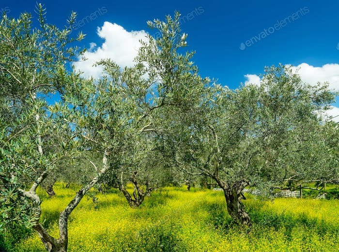 Beautiful olives garden