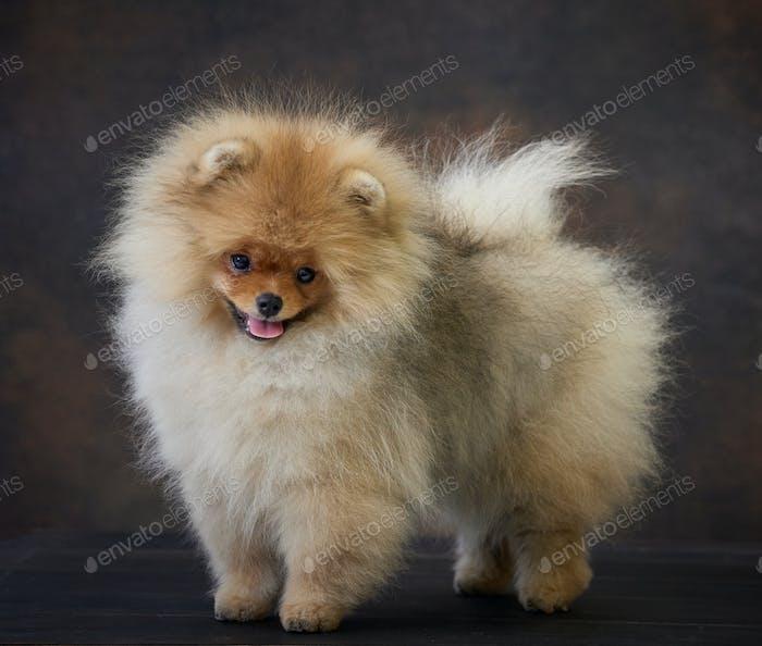 portrait of pomeranian spitz puppy