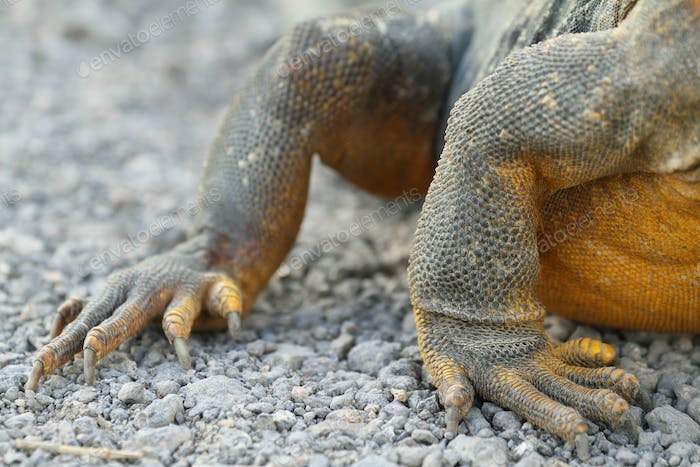 Detail of claws of wild land iguana