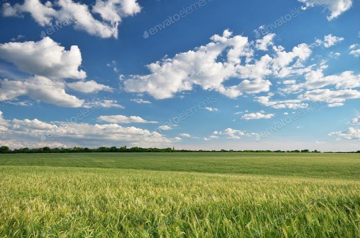 Weizenwiese