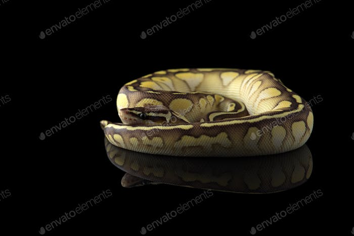 The royal python isolated on black background
