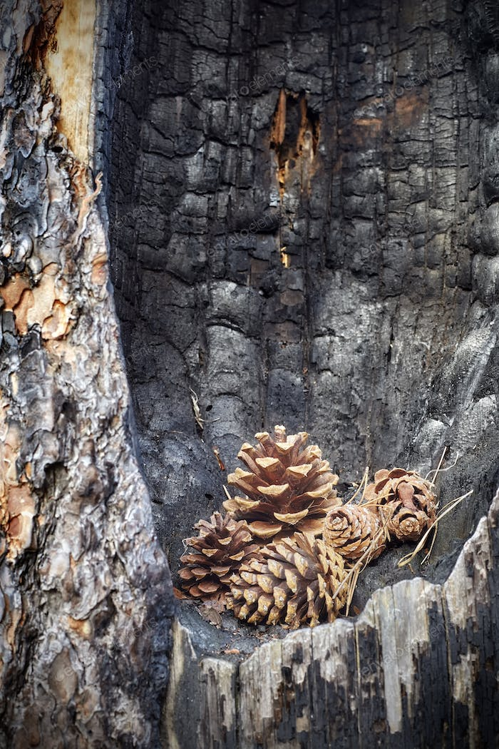 Pine cones in a burnt tree hollow.