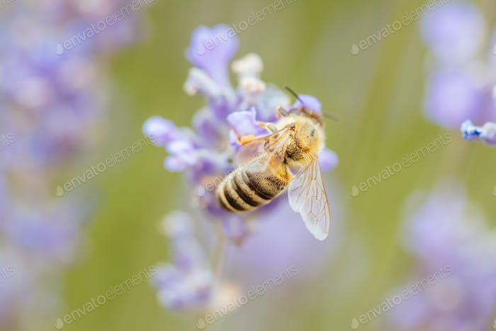 Bee in a Lavender Field in Wandin Victoria Australia