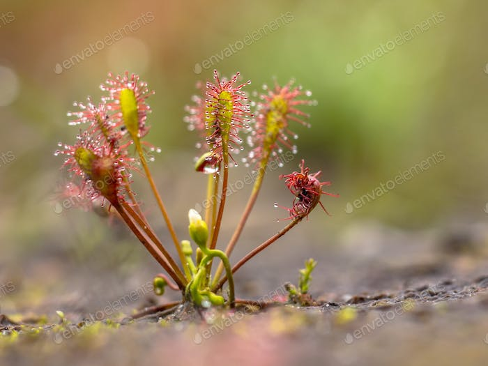 Spoonleaf sundew is an insectivorous plant species