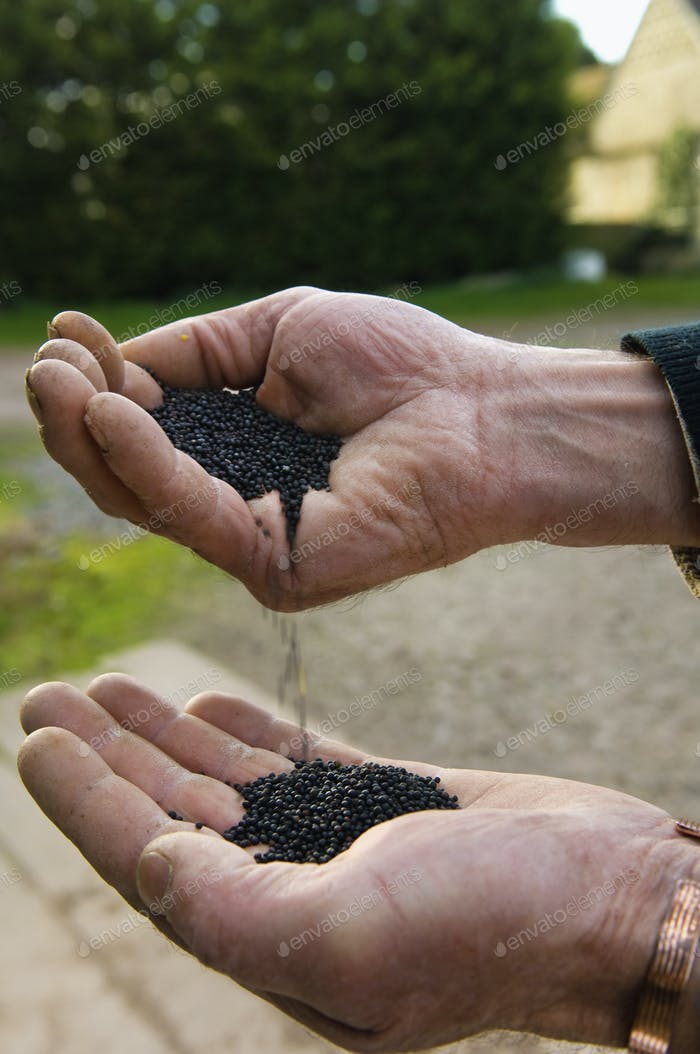 Close up of a man's hands pouring rape oil seeds from one hand into the other.