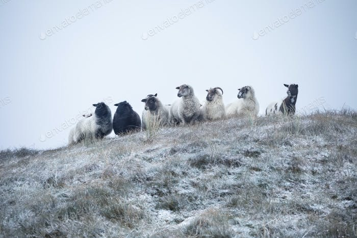 sheep on hill during snowy day