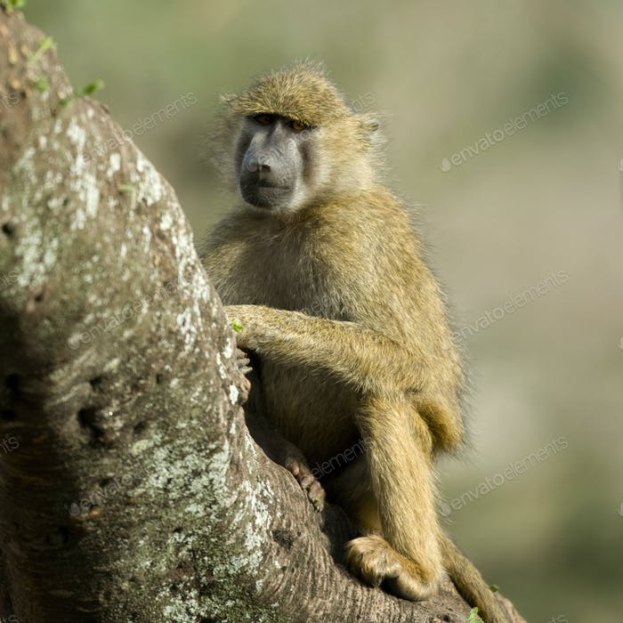 Monkey sitting in tree in the Serengeti, Tanzania, Africa