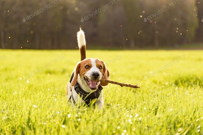Dog Beagle outdoor