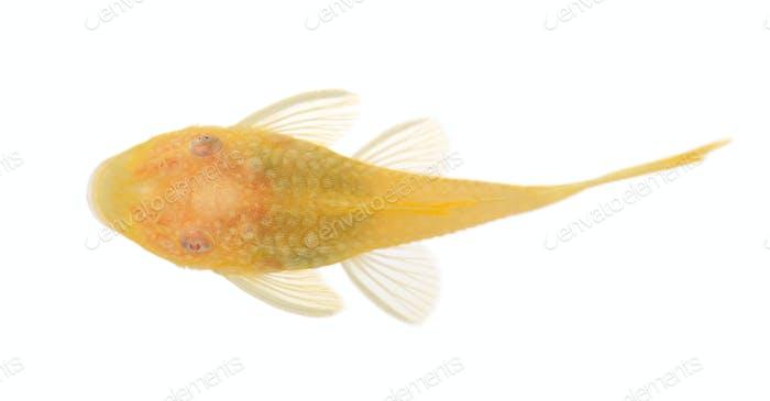 bushy nose - Goldspot Ancistrus Albino