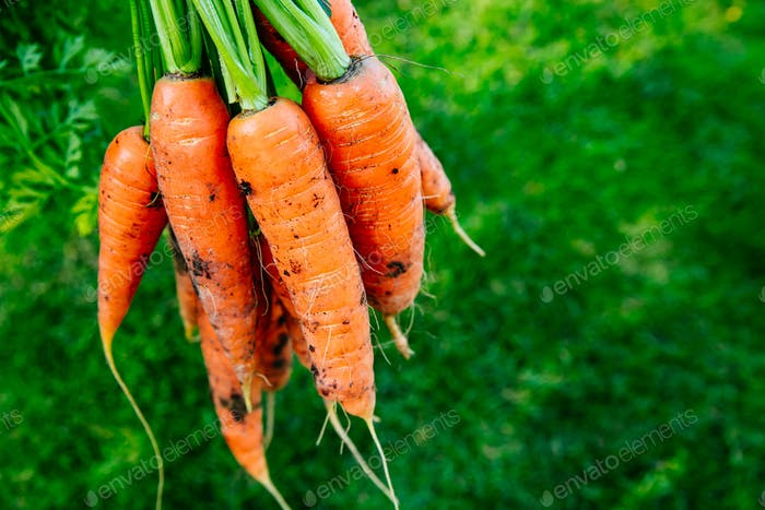 Carrots. Fresh organic harvest of carrots. Bunch of carrots on a background