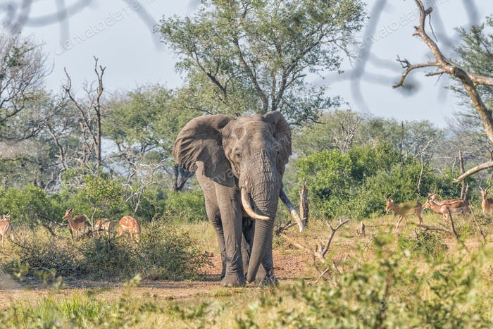 Elephant with large tusks in Mpumalanga in South Africa