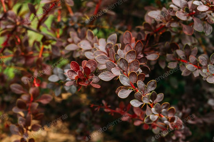 Leaves On Bush Of Berberis Thunbergii, The Japanese Barberry, Th