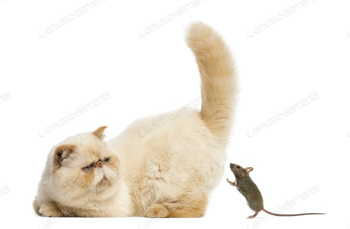 Persian staring at a mouse in front of a white background