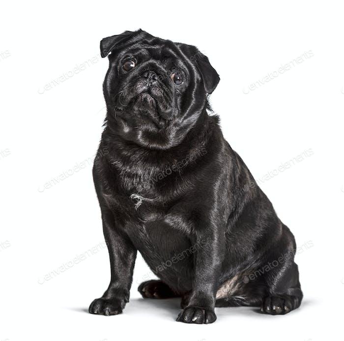 Carlin sitting against white background, pug