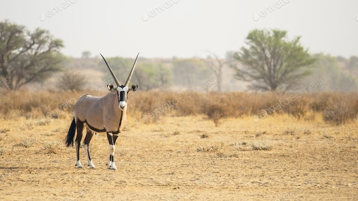 Gemsbok in the Kalahari Desert
