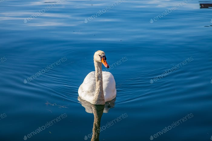 tranquil scene with beautiful white swan floating on calm water