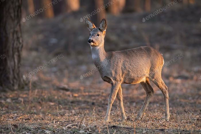Roe deer, capreolus capreolus, doe walking through a forest at sunset