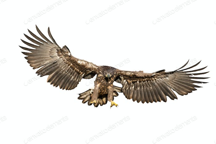 White-tailed eagle hunting in the air cut out on blank