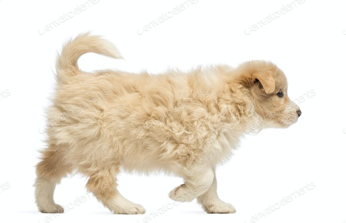 Side view of a Border Collie puppy, 6 weeks old, walking in front of white background