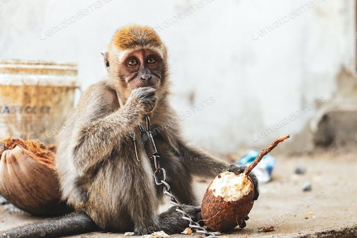 KUCHING / SARAWAK  / MALAYSIA / JUNE 2014: Small monkey chained